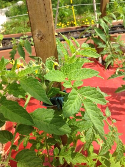 Alaska Tomatoes