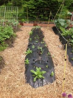 Cucumbers poking up